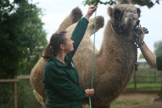 Noemie the Bactrian Camel has her vital stats recorded at ZSL London Zoo (c)ZSLLondonZoo