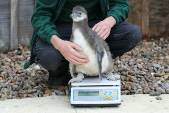 Carl Ashworth weighs eight-week-old Humboldt penguin chicks (c)ZSLLondonZoo