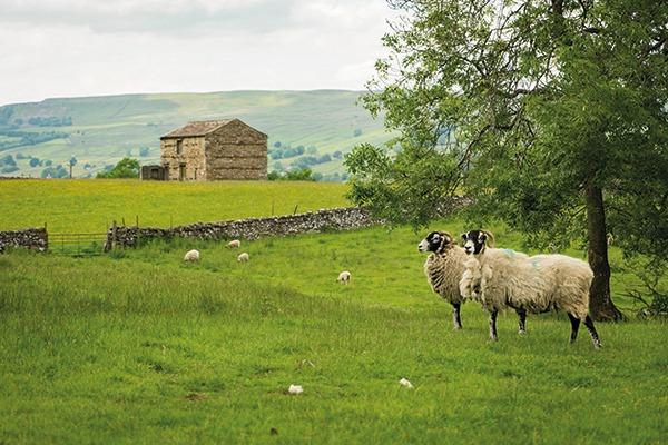 Yorkshire sheep farm